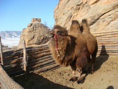 Tereldsh Nationalpark - Mongolei - Kamel