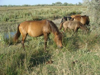 Pferde in Sf. Gheorghe im Donaudelta - Rumänien