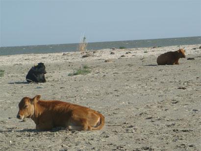 Kühe am Strand in Sfantu Gheorghe - Donaudelta - Rumänien
