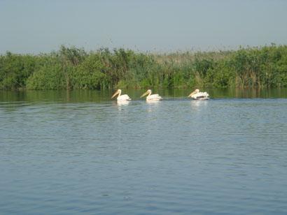 Pelikane im Donaudelta - Rumänien