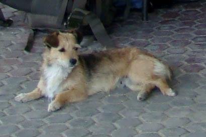 Streunender Hund in Rumänien