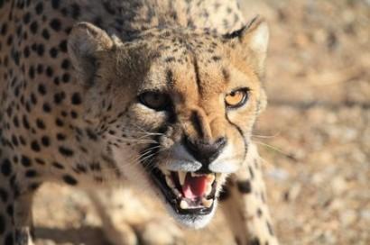 """Gepard """"live"""" in Afrika - Bild: Nils Römeling"""