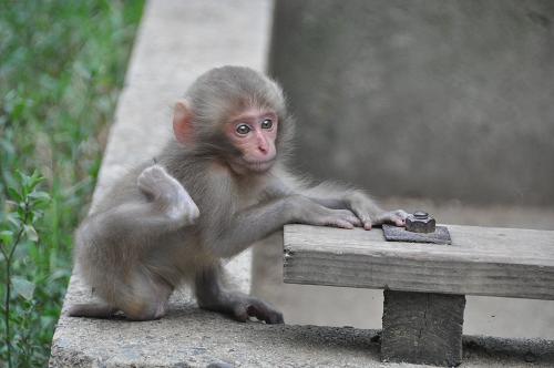 Yudanaka: Baby-Affe