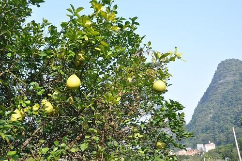 Bild: Chinesische Pomelos am Baum in Yangshuo