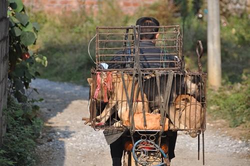 Bild: Hundekäfig am Moped in Yangshuo