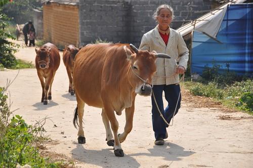 Bild: Kühe in der Nähe von Yangshuo in China