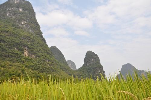 Bild: Gelb leuchtendes Reisfeld im Hintergrund die Berge rund um Yangshuo