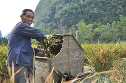 Bild: Händisch Reis dreschen in China