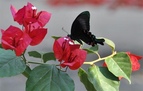 Großer Schmetterling in Yangshuo
