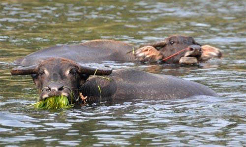 Bild: Wasserbüffel am Fluss Li Jang - China