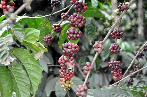 Bild: Kaffee-Plantage in Vietnam