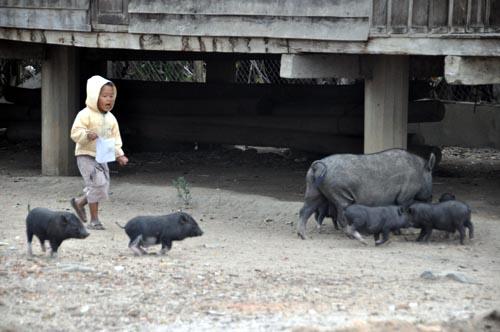 Bild: Kind mit schweinen in einem Ede-Dorf am Lak See in Vietnam