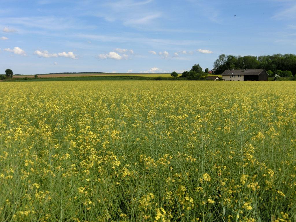 Bild: Blühendes Rapsfeld im Innviertel in der Nähe von Altheim