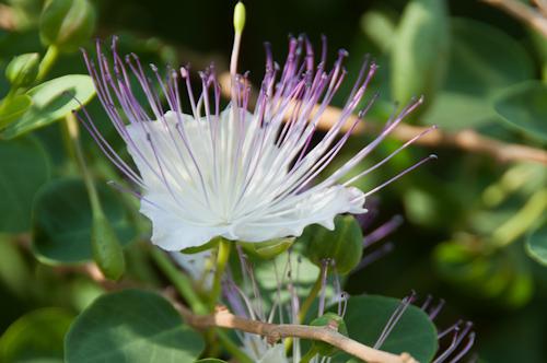 Bild: Kapern-Blüte