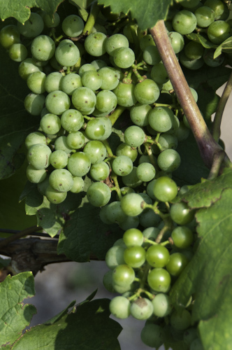 Bild: Weintrauben