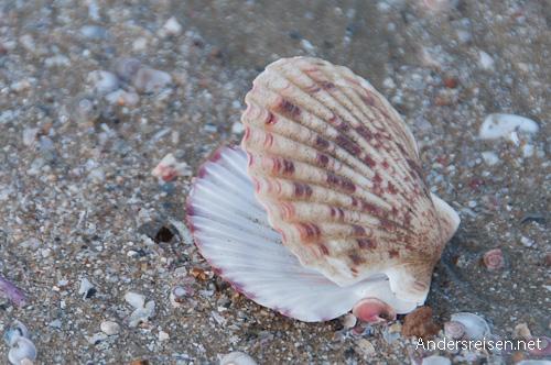 Bild: Muschelschale am Strand