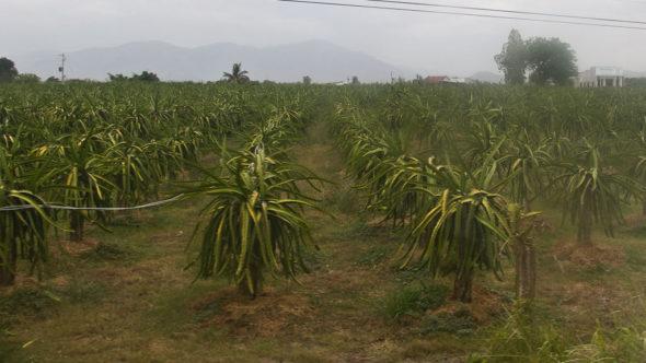Drachenfrucht-Feld in der Nähe von Phan Thiet - Vietnam