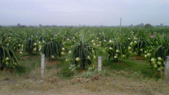 Drachenfrucht-Feld mit Blüten - Bild: Nguyen Vinh Phu