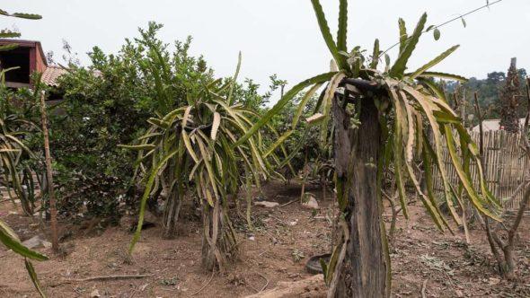 Drachenfrucht Pflanzen