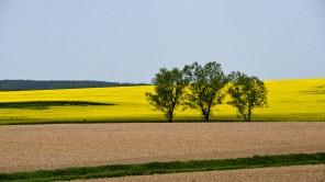 Raps: Goldgelbe Frühlingslandschaft in Südböhmen