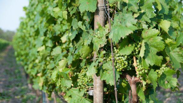 Radfahrer dürfen im Burgenland die Güterwege zwischen den Weingärten nützen.