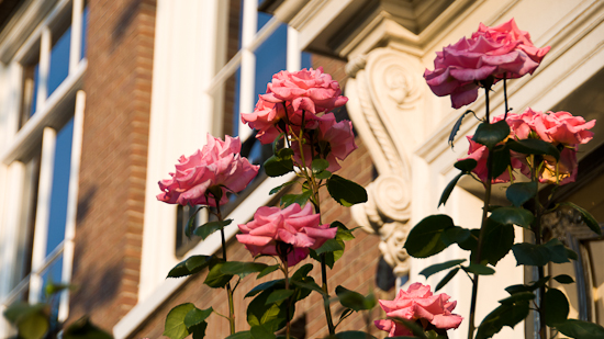 Bild: Rosen in Amsterdam