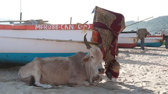 Bild: Kuh am Strand von Palolem