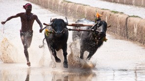 Kambala – The real flying bulls