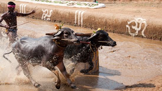 Bild: Kambala in Ikala Bava