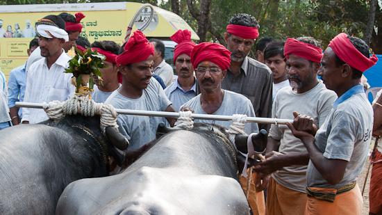 Bild: Wasserbüffel werden vorbereitet