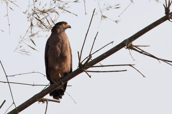Bild: Alder im Nagarhole Tiger Reserve