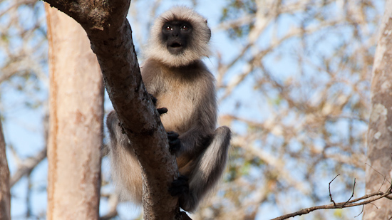 Bild: Langur im Nagarhole Tiger Reserve