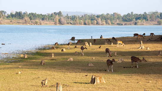 Bild: Rehe am Kabini Fluss