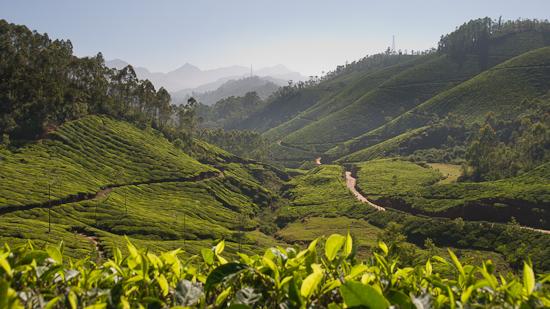 Bild: Teeplantagen rund um Munnar
