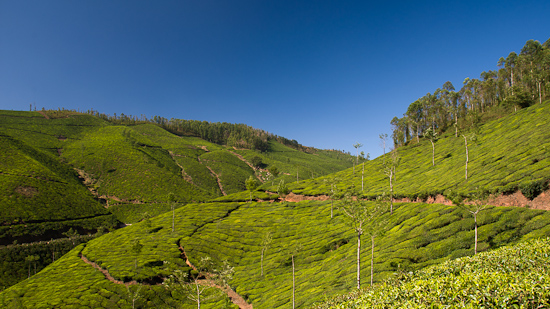 Bild: Teeplantagen in Munnar