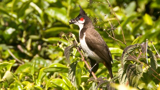 Bild: Vogel in einer Teeplantage