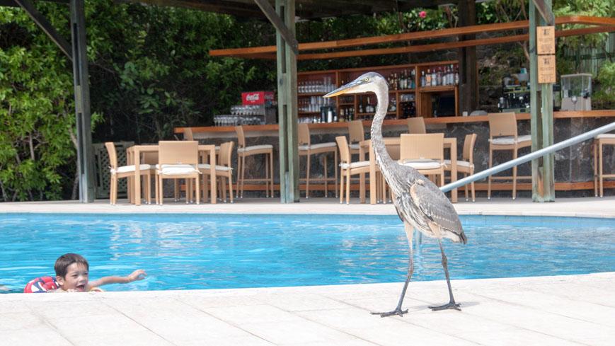 Bild: Reiher am Pool des Finch Bay Hotel auf Santa Cruz
