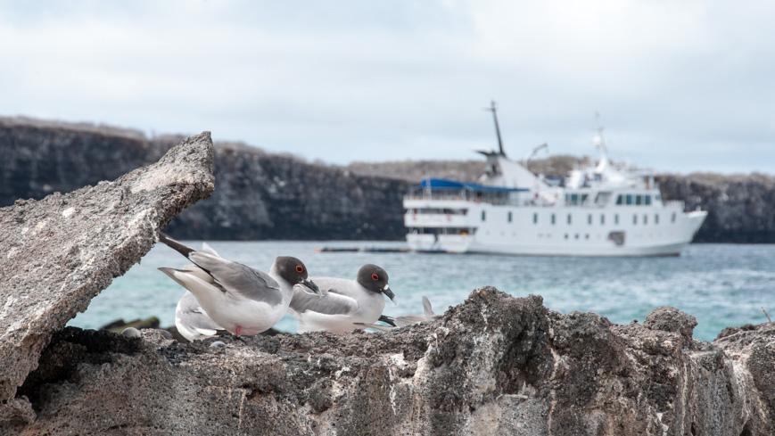 Bild: Gabelschwanzmöwe auf den Galapagosinseln