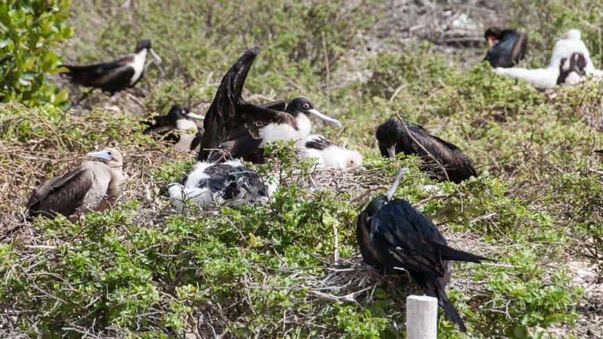 Bild: Fregattenvögel und Rotfußtölpel
