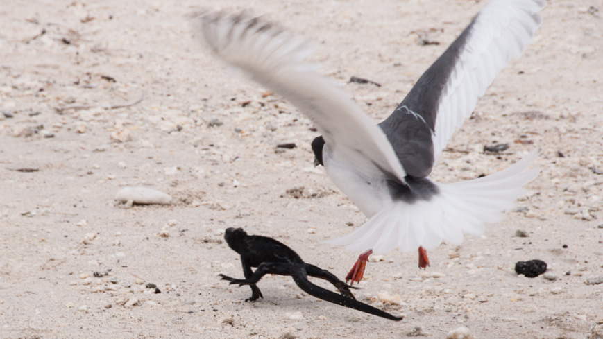 Bild: Gabelschwanzmöwe und Echse auf der Insel Genovesa auf den Galapagos Inseln