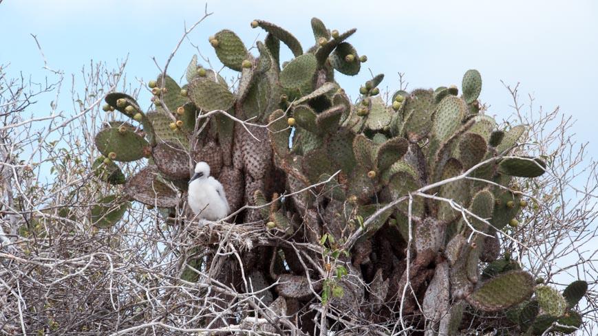 Bild: Rotfußtölpel am Kaktus