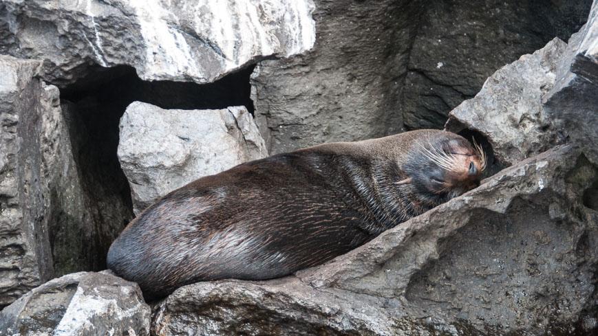 Bild: Seebär auf Genovesa