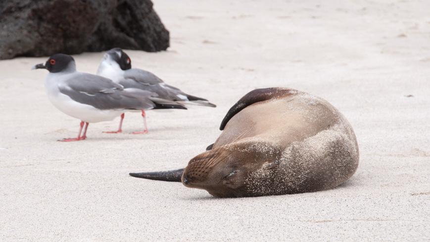 Bild: Seelöwe auf Genovesa