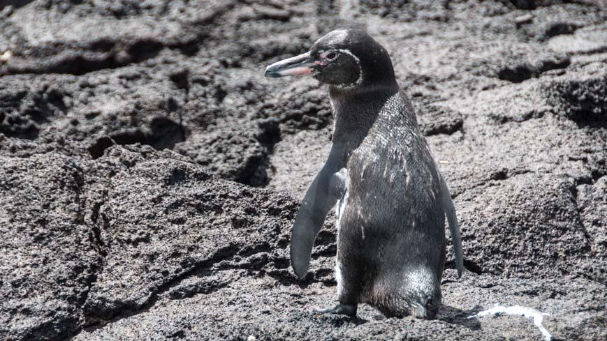 Bild: Galapagos Pinguin
