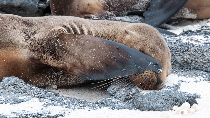 Bild: Galapagos Seelöwe
