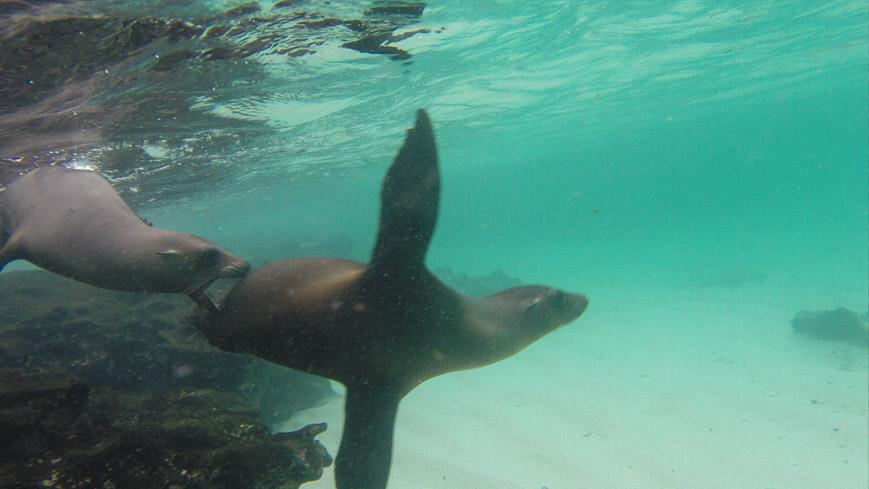 Bild: Galapagos Seelöwe unter Wasser