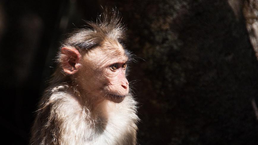 Bild: Affe beim Dudhsagar Wasserfall in Goa