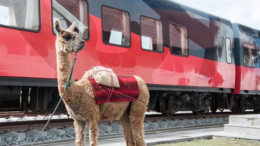 Bild: Lama vor dem Tren Crucero