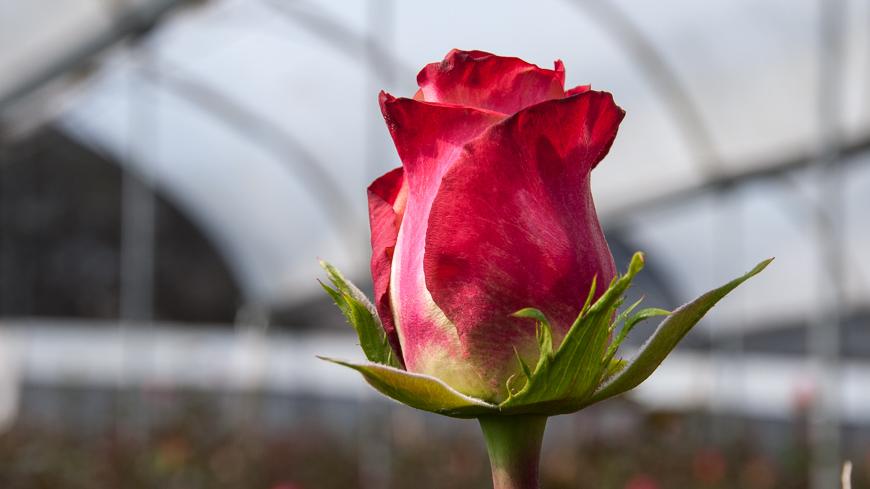 Bild: Rose aus Ecuador