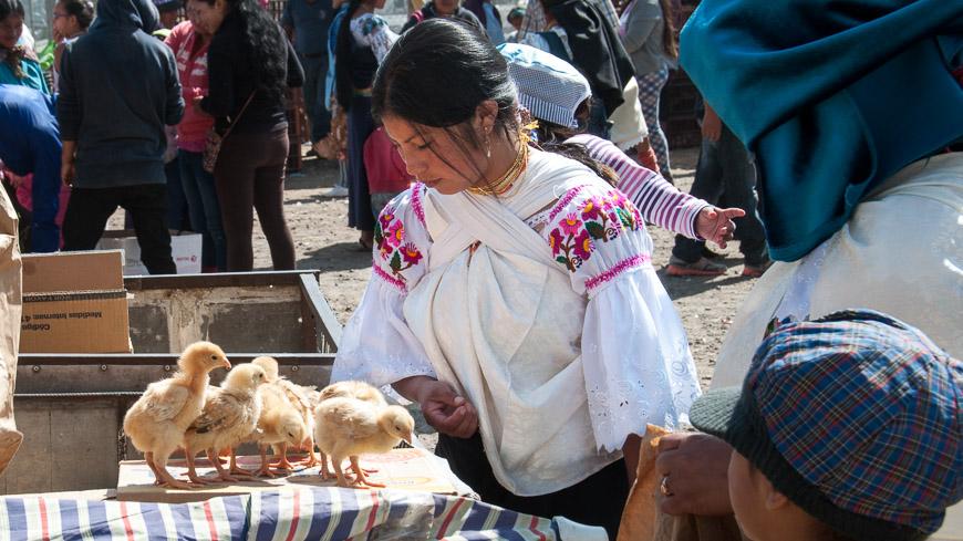 Bild: Küken am Tiermarkt Otavalo, Ecuador